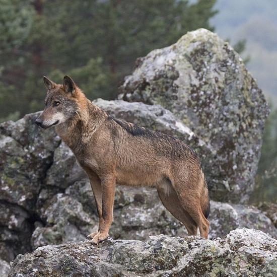 Rutas guiadas conociendo al Lobo Ibérico
